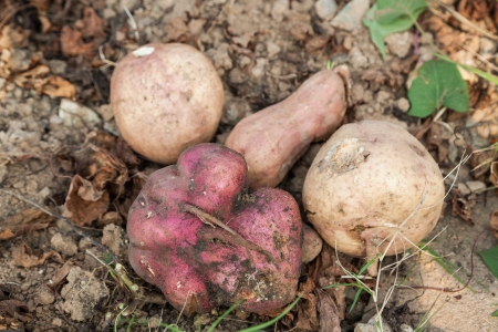 sweet potatoes in the garden, also called yam, a popular food in China Stock Photo - 16775421