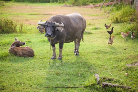 baby rice: new born buffalo with mother