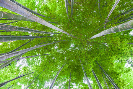 bamboo tree: bamboo forest  Stock Photo