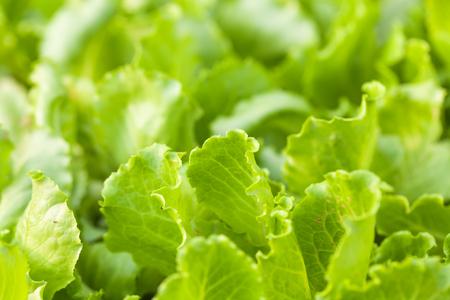 green vegetable: lettuce field under sunshine Stock Photo
