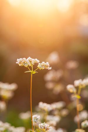 essentially: buckwheat near sunset in the field
