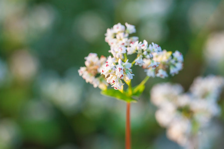 essentially: buckwheat blooming in the field