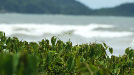 Native plant of Brazil. Brazilian fauna and flora