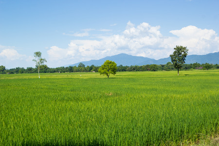 Three trees in the paddy field photo