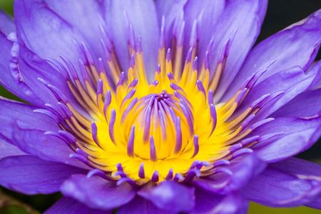 Beautiful macro Purple lotus flower photo