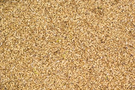 husk: Paja de arroz, c�scara de arroz fondo Foto de archivo
