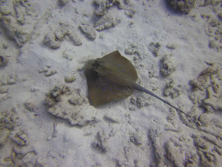 fantail: Blue-spotted fantail ray, Bluespotted ribbontail ray