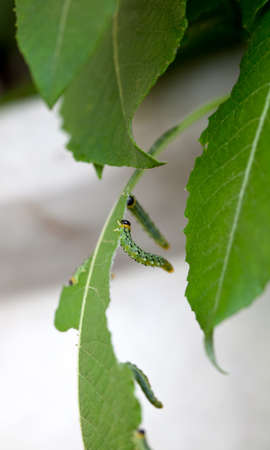 ravage: Vertical close-up of several caterpillars eating leaves Stock Photo