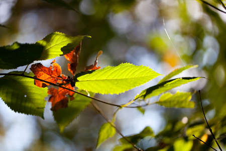 harmed: Autumn foliage with green and dead leaves lit by the sun growing on a tree in woodland with shallow dof and copyspace for your ecological or bio concept