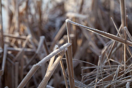 bent over: Close Up of Dry Frost Covered Reeds Bent Over