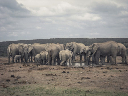 the water hole: Elephant family at water hole in Addo Elephant Park, South Africa.