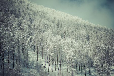 val: forest in wintertime in Val Senales, Italy