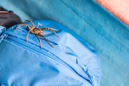 wolf spider: massive wolf spider on the backpack