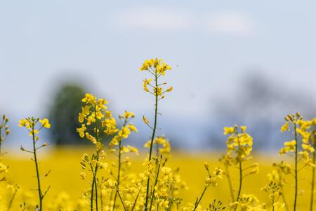 canola rape rapeseed flowers in summer