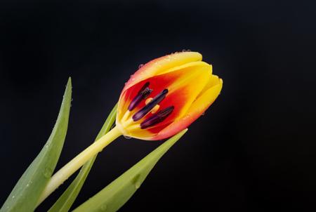 yellow and orange tulip on black background Stock Photo