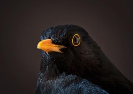 portrait of male blackbird in winter in stockholm
