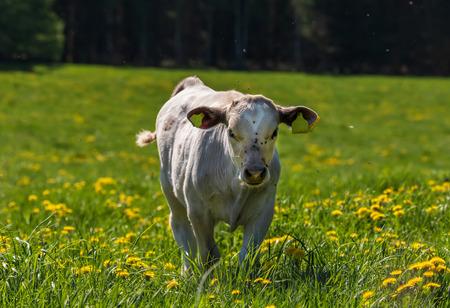 cute calf in green field with dandelions