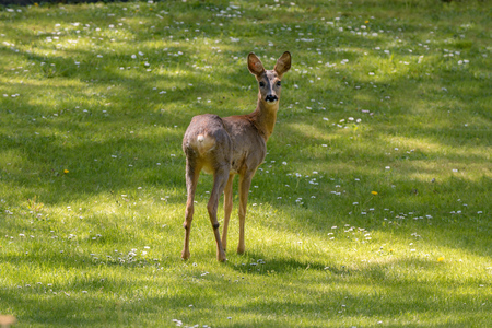 roe deer on green lawn in summer