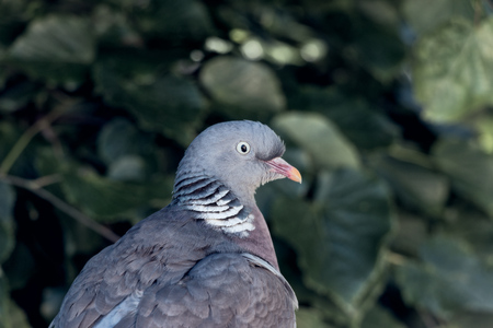 close-up of wood pigeon in stockholm