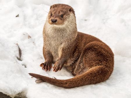 süßer otter liegt im schnee