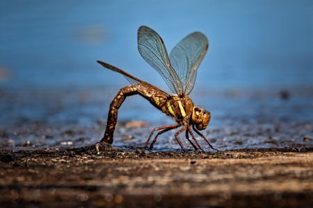 large dragonfly laying its eggs in small lake