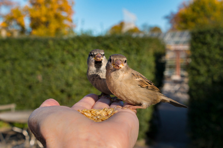 cute house sparrows sitting in hand
