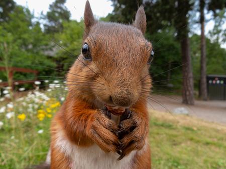 Porträt von sehr süßem Eichhörnchen extreme Nahaufnahme Standard-Bild