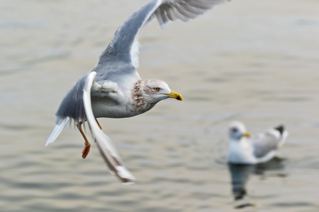 common gull - seagull in the air