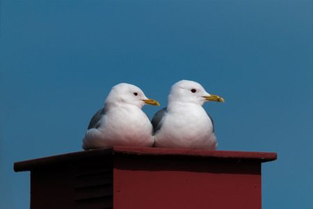 a pair of common gull - seagull lying on a chimney