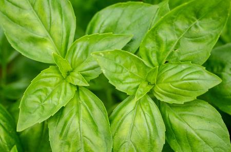 fresh green leaves of sweet basil