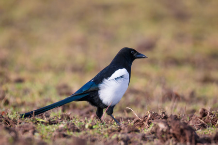 adult magpie prowling a lawn in search of food Stock Photo