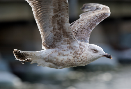 seagull - herring gull- flying in mid-air Stock Photo - 122130660