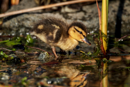 tiny cute young duckling in spring Standard-Bild - 122130641