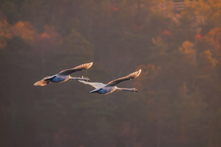 swans flying into the sunset