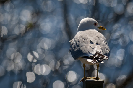 common gull - seagull with bokeh background
