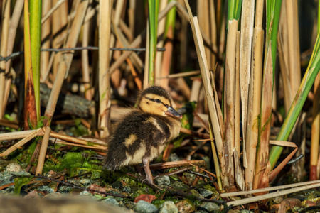 tiny cute young duckling in spring Standard-Bild - 122130526
