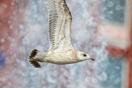 young seagull flying in summer park Stock Photo