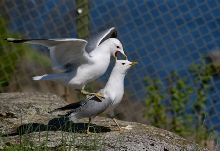 a pair of common gull - seagull mating