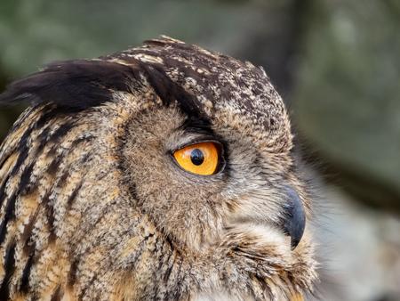 closeup of eagle owl with big orange eyes