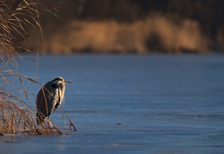 Grey heron on frozen lake awaiting spring