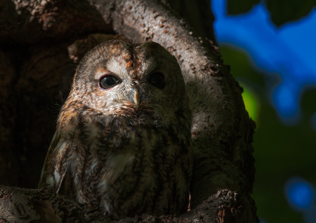 tawny owl watching from a hole in a tree