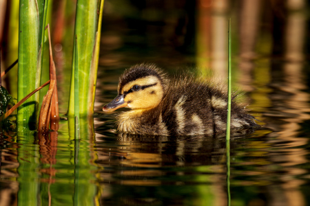 tiny cute young duckling in spring Standard-Bild - 122130082