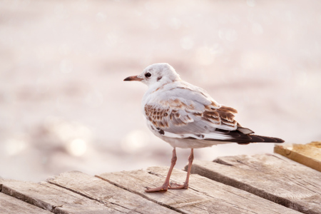 portrait of young black-headed seagull in summer