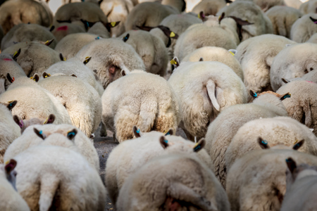 sheep on the move to pasture