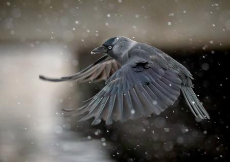 jackdaw crow in flight in heavy snowfall 스톡 콘텐츠
