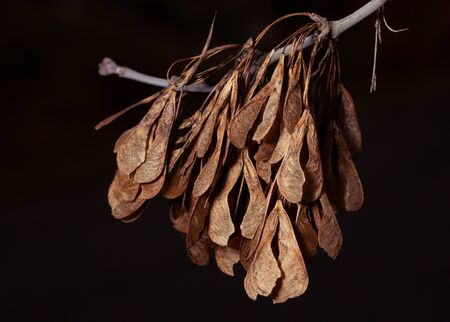 Norway maple fruit seeds samara Banco de Imagens