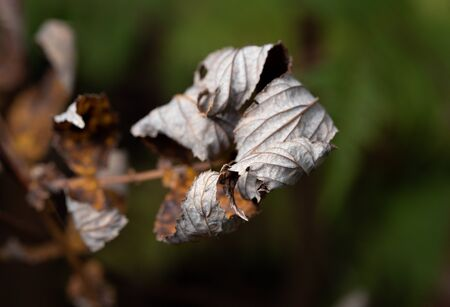 dried withered leaves in late fall