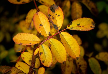 yellow leaves in autumn on dark background Banco de Imagens