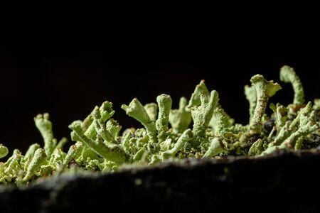 light green lichens on black background