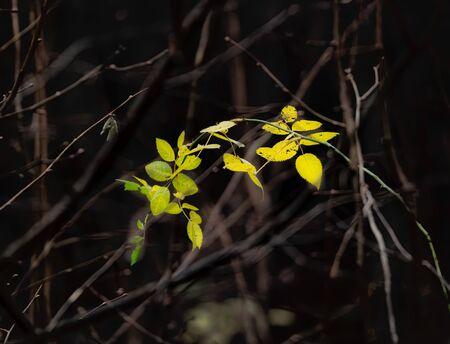 very last rose hip leaves in november Stock fotó